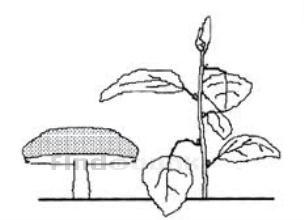 משמעות הצורה בצמחים / צבי זקס